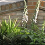 Foxgloves by the Wall