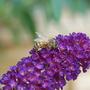 Bee_on_budleigha