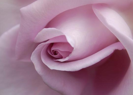 Blue moon rose.