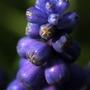 grape_hycinth.jpg