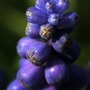Grape_hycinth