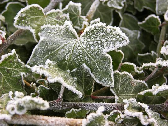frozen_ivy.jpg