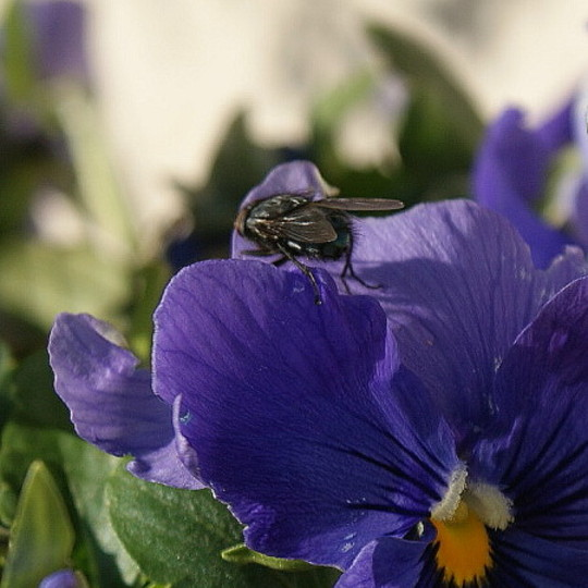 Fly on Pansy (Pansy)