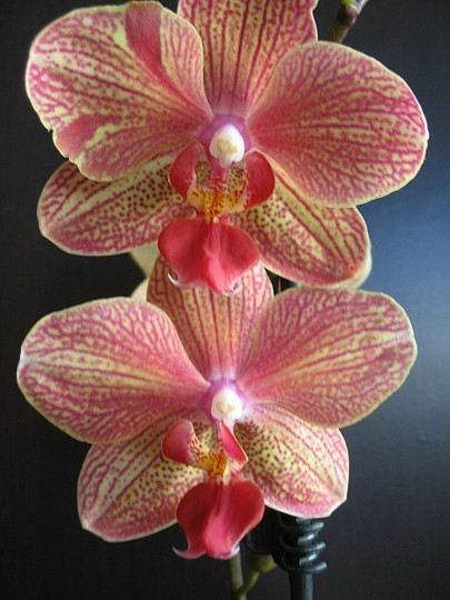 My other new Orchid (Orchid Phalaenopsis)