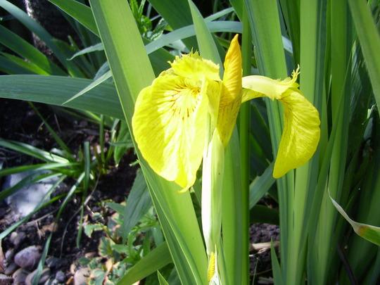 Yellow Iris by the pond (Iris pseudacorus)
