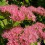 Sedum (Sedum spectabile (Ice plant))