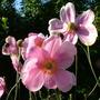Anemone hupehensis pink (Anemone hupehensis (Japanese anemone))