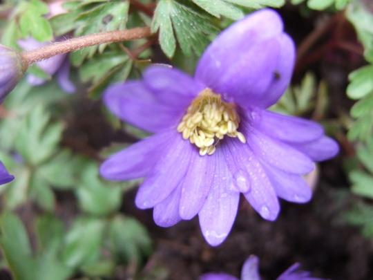 Anemone blanda bloom (Anemone blanda (Anemone))