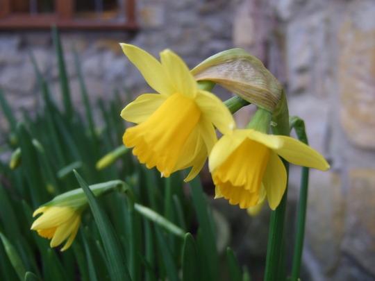 Tete a Tete (Narcissus Tete a Tete)