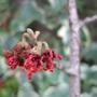 Hamamelis_rubin_flower