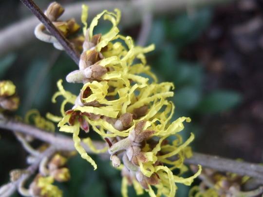 Hamamelis 'Arnold Promise' flower