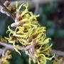 H._arnold_promise_flower