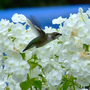 Hummingbird feeding on white phlox
