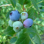Blueberries ripening (Vaccinium corymbosum (Blueberry))