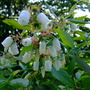 Blueberry blossom Vaccinium corymbosum (Vaccinium corymbosum (Blueberry))