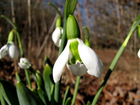 A few Snow drops are in bloom  (Galanthophiles)