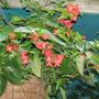 Dragon Wing Begonia (Begonia x tuberhybrida 'Dragon Wings')