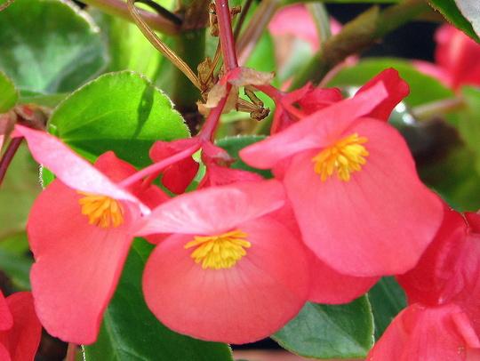 Closer view of 'Dragon Wing' Begonia (Begonia x tuberhybrida 'Dragon Wings')