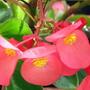 Begonia_x_hybrida_dragon_wing_2_1