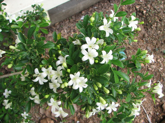 Mock Orange/Orange Jasmine (Murraya paniculata (Chinese Box))
