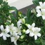 Mock Orange flowers up close (Murraya paniculata (Chinese Box))