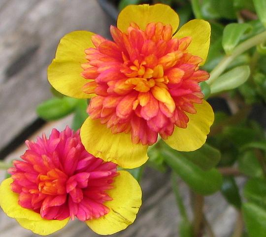Another Sun Jewel (Portulaca grandiflora (Double Rose Moss))