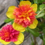 Another Sun Jewel (Portulaca grandiflora (Double Rose Moss))