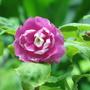 Balsam (Impatiens walleriana (Busy Lizzie))