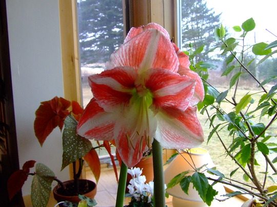 Amaryllis (Amaryllis belladonna (Belladonna lily))