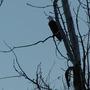 Eagle_at_dusk