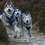 Husky_dogs_071