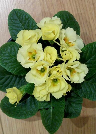 Semi double polys (Primula)