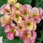 My favorite.... (Primula)