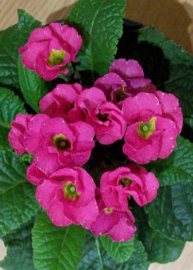 pretty pink (Primula)