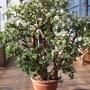 Crassula ovata (Jade tree)