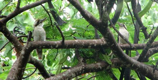 Kookaburras - looking a bit like bookends
