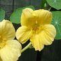 Yellow_nasturtium