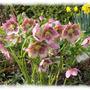 hellebores  (Helleborus Allwood Hybrid)