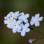 Myosotis alpestris (Alpine Forget-me-not)