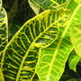 Another croton (Codiaeum variegatum)