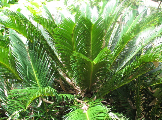 The other cycad (Cycas revoluta)