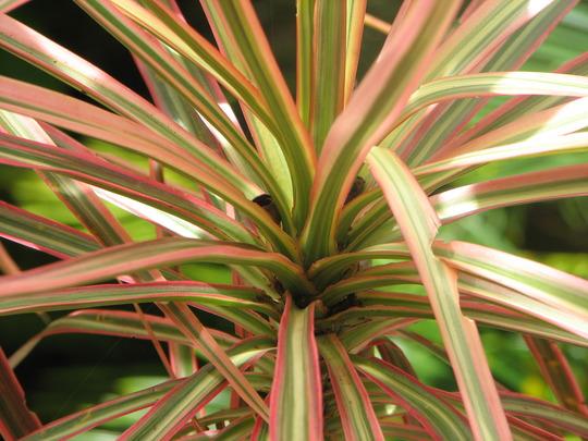 Dracaena (Dracaena marginata 'Tricolour')