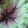 Rex Begonia leaf (Rex Begonia)