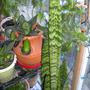 Tall_Boy_and_Garden_Pics_1 (Sansevieria fischeri)