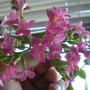 Kalanchoe_Flowers_1-1.jpg (kalanchoe blossfeldiana)