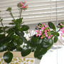 Kalanchoe_Flowers_7-1.jpg (kalanchoe blossfeldiana)