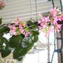 Kalanchoe_Flowers_8-1.jpg (kalanchoe blossfeldiana)