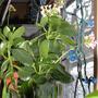 Kalanchoe_Flowers_6-1.jpg (kalanchoe)