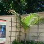 Cocos nucifera - Coconut Palm (Cocos nucifera - Coconut Palm)