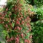 Tropaeolum pentaphyllum (Tropaeolum pentaphyllum)